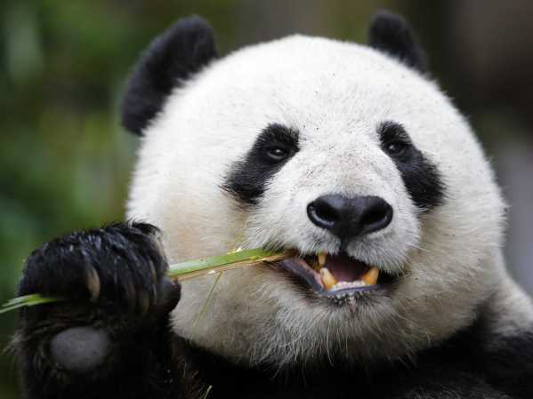 chinas-panda-diplomacy-has-entered-a-lucrative-new-phase