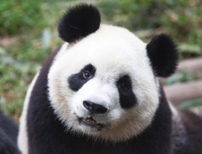 cute-panda-bears-animals-34916401-1455-1114